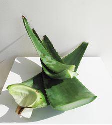 Immagine di Foglie fresche Aloe Vera 1Kg