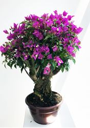 Immagine di Bougainvillea Bonsai 2580